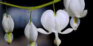 vier hartkwaliteiten brahma viharas